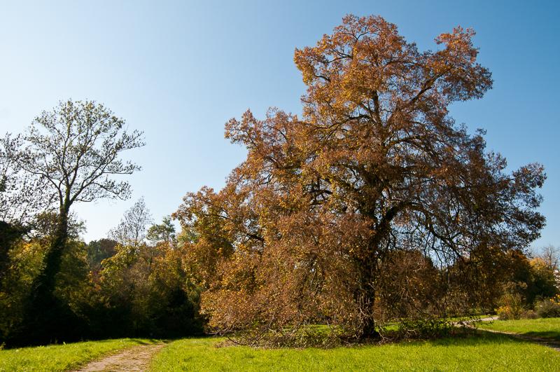Alte Winter-Linde (Tilia cordata) im botansichen Garten Stuttgart-Hohenheim