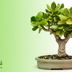 Wallpaper Crassula ovata als Bonsai
