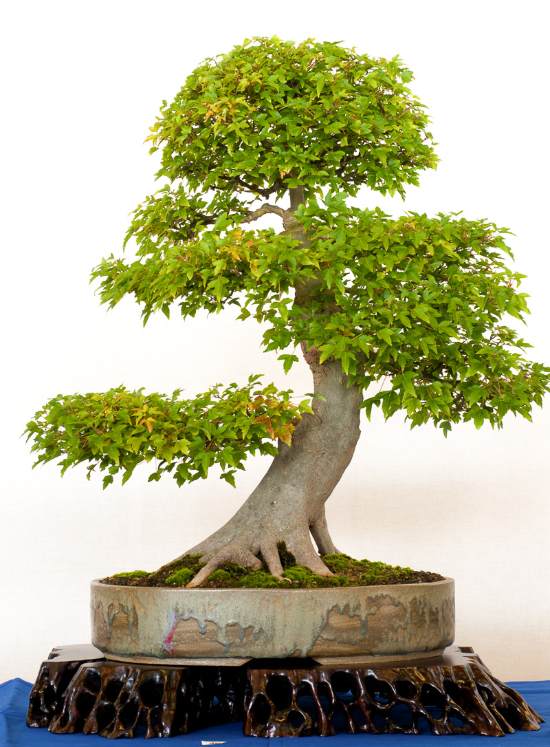 Alter Ahorn-Baum als Bonsai