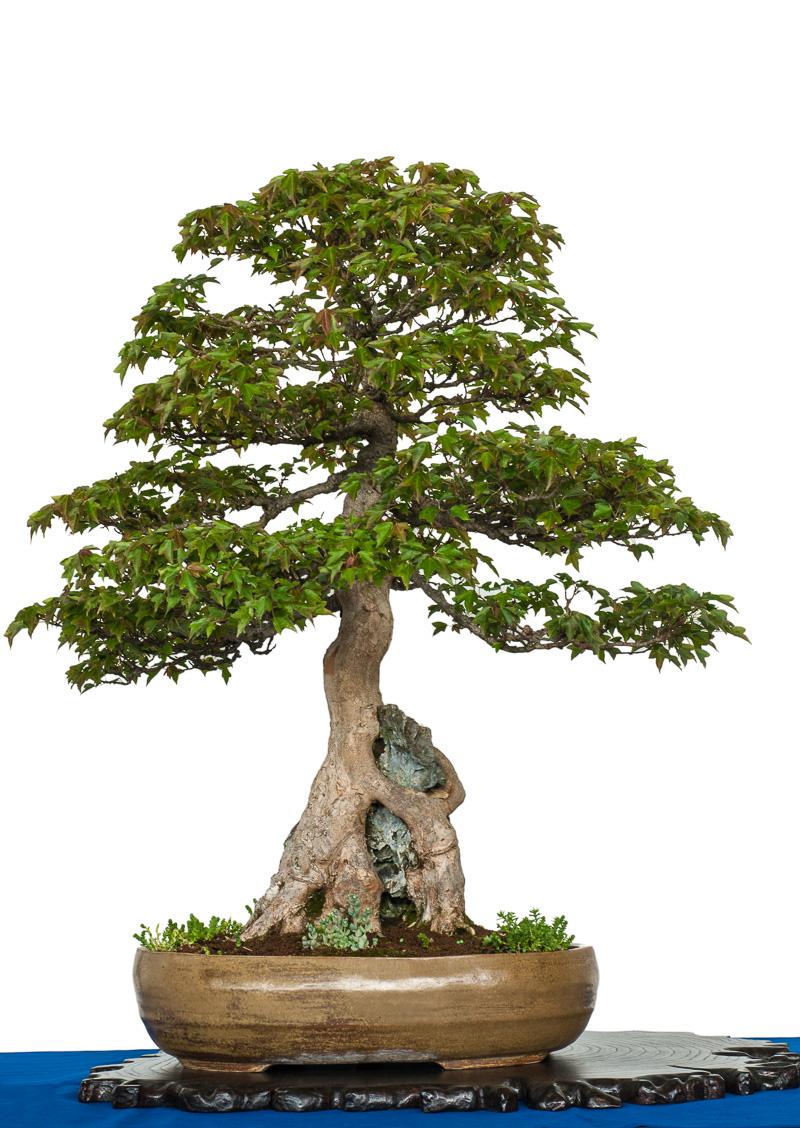 Dreispitzahorn über einen Felsen als Bonsai-Baum