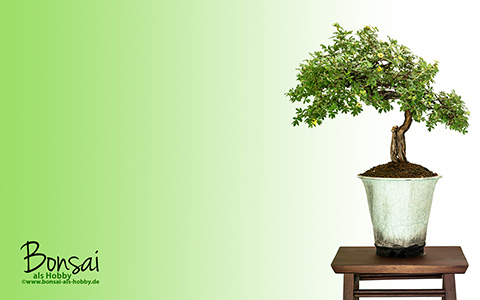 Wallpaper Fünffingerstrauch (Potentilla fruticosa) als Bonsai