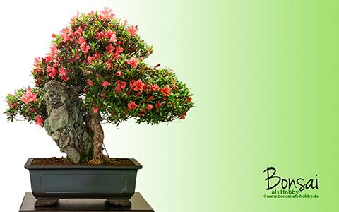 bonsai wallpaper zum gratis download. Black Bedroom Furniture Sets. Home Design Ideas