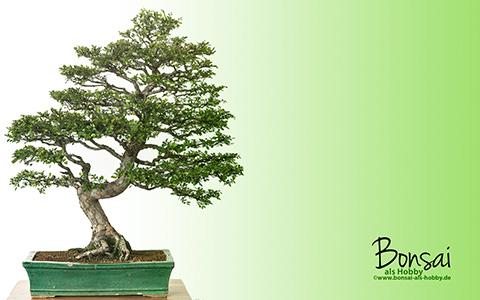 Wallpaper Chinesische Ulme (Ulmus parvifolia) als Bonsai