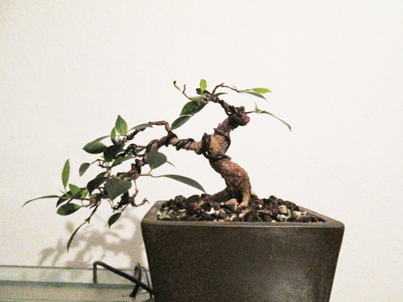 Ficus Gestaltung #1