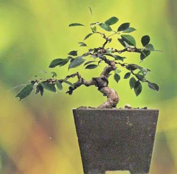 Endergebnis Ficus Gestaltung