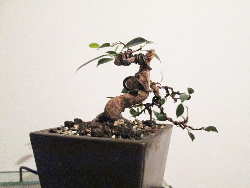 Ficus Gestaltung #2