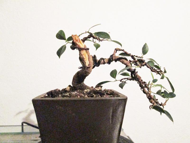 Ficus Gestaltung #3
