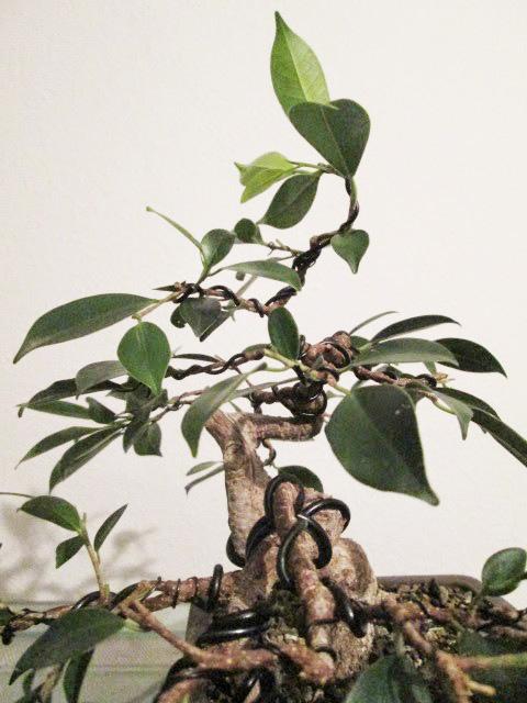 Ficus Gestaltung #4
