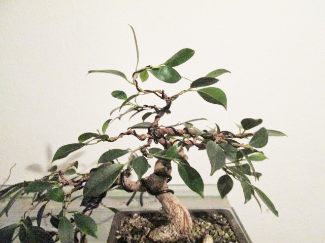 Ficus Gestaltung #5