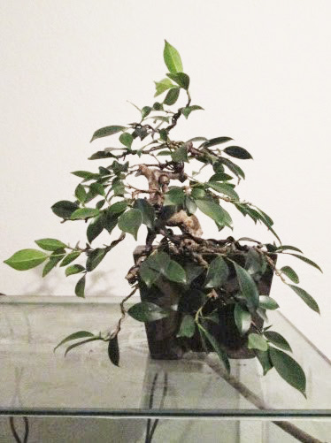 Ficus Gestaltung #6