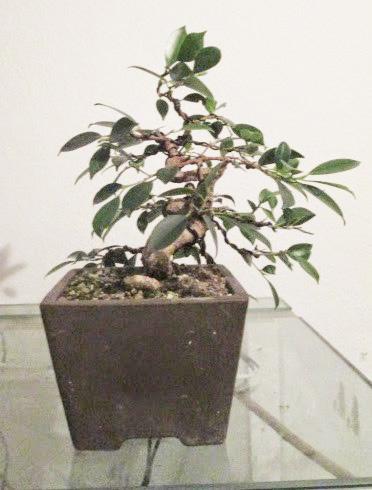 Ficus Gestaltung #7