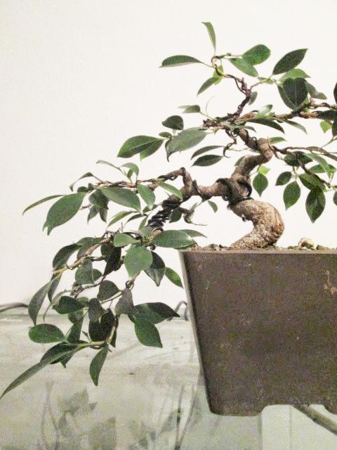 Ficus Gestaltung #8