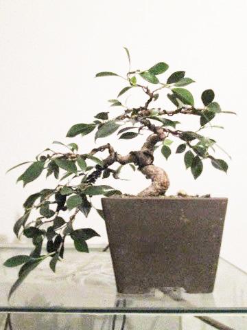 Ficus Gestaltung #9