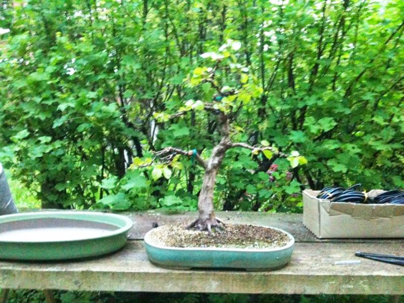 bonsai umgestaltung einer koreanischen hainbuche. Black Bedroom Furniture Sets. Home Design Ideas