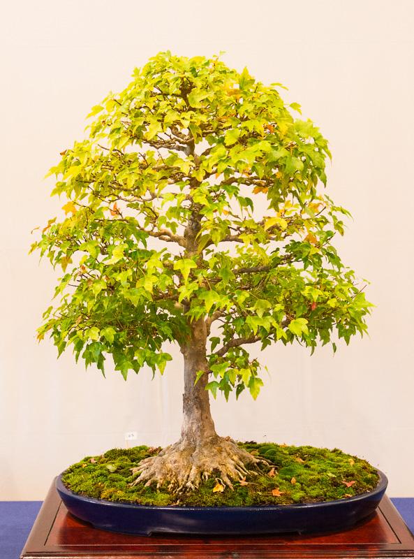 Dreispitzahorn (Acer buergerianum)