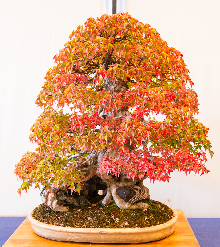 Dreispitzahorn (Acer buergerianum) im Herbstlaub