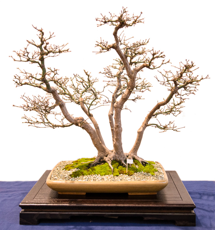 Bonsai Fächer-Ahorn (Acer palmatum)