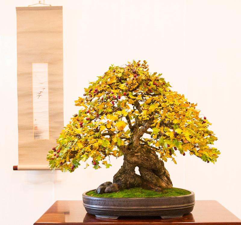 Weißdorn-Bonsai (Crataegus monogyna)