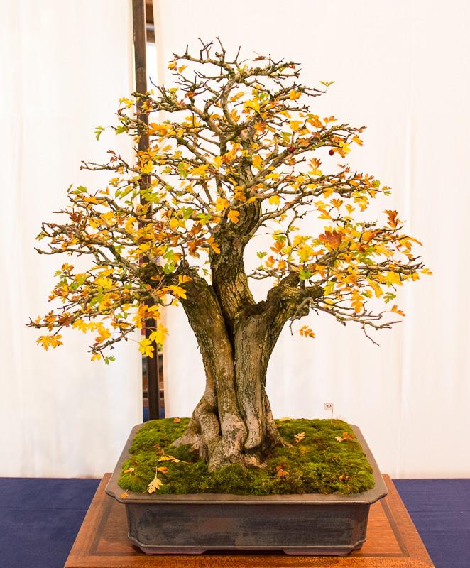 Weißdorn (Crataegus monogyna) als Bonsai-Baum