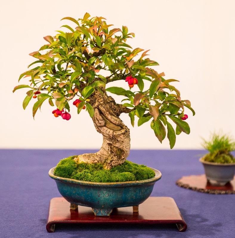 Shohin-Bonsai Pfaffenhütchen (Euonymus europaeus)