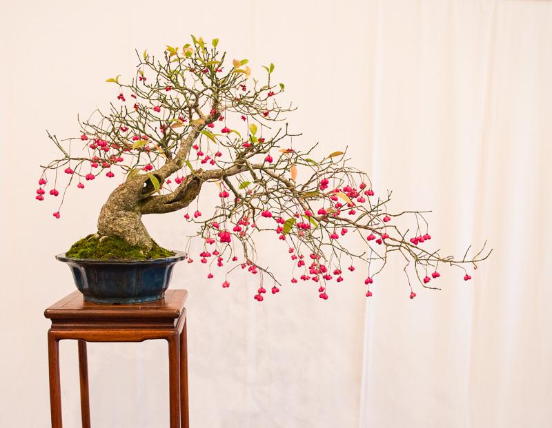 Pfaffenhütchen (Euonymus europaeus) als Bonsai-Baum