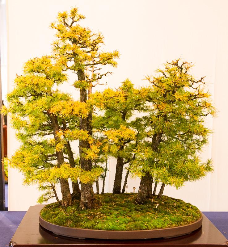 Wald mir Lärchen (Larix decidua)
