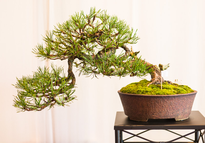 Halbkaskade einer Berg-Kiefer (Pinus mugo)