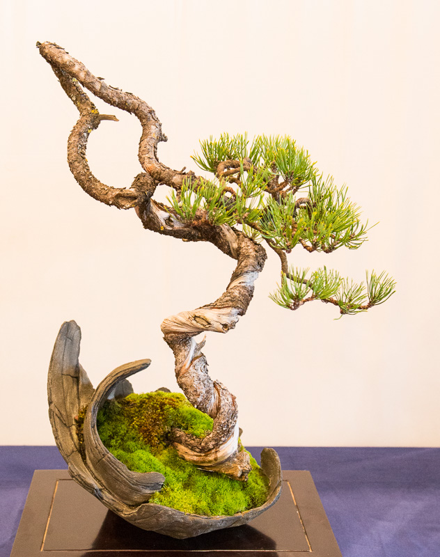 Berg-Kiefer (Pinus mugo) als Bonsai