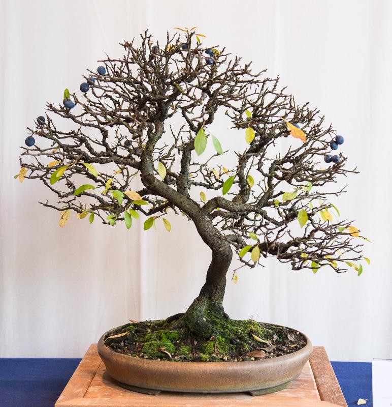 Schlehe (Prunus spinosa) als Bonsai-Baum