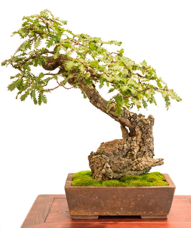 Flaum-Eiche (Quercus pubescens) als Bonsai