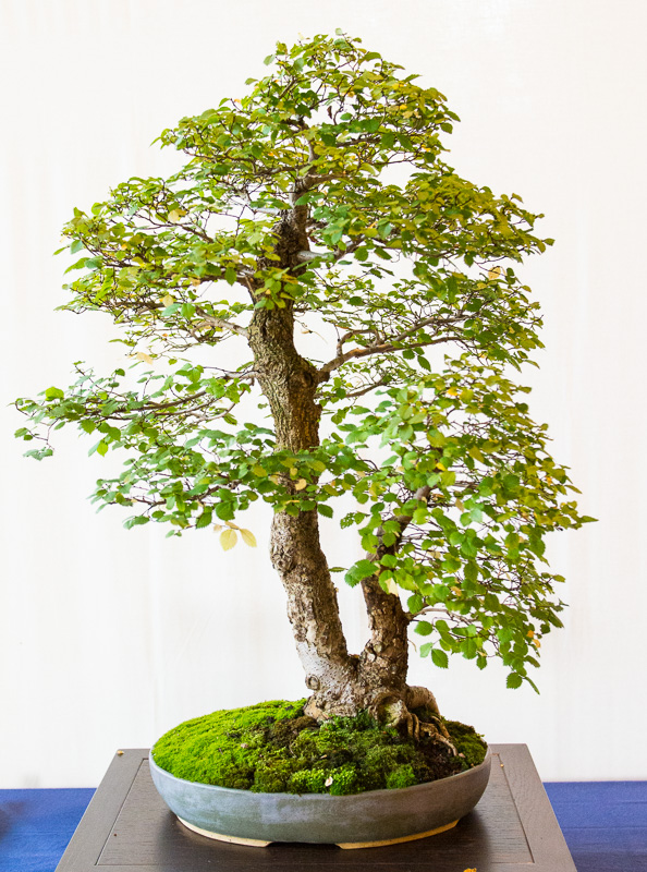 Feld-Ulme (Ulmur minor) als Bonsai