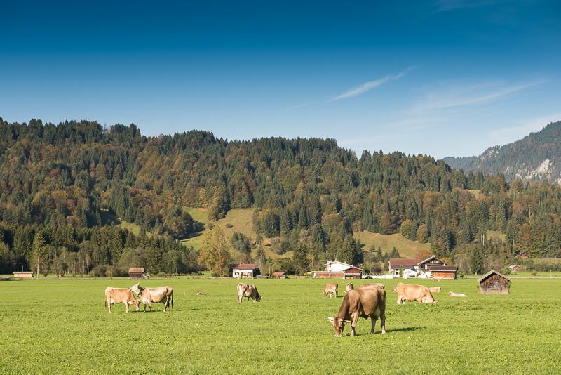 Kühe auf einer Wiese bei Oberstdorf