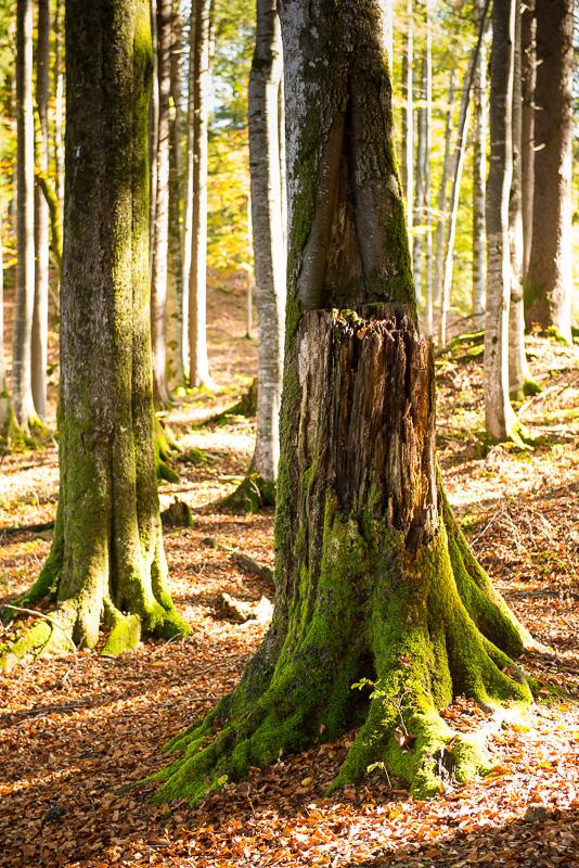 Rotbuche mit Totholz