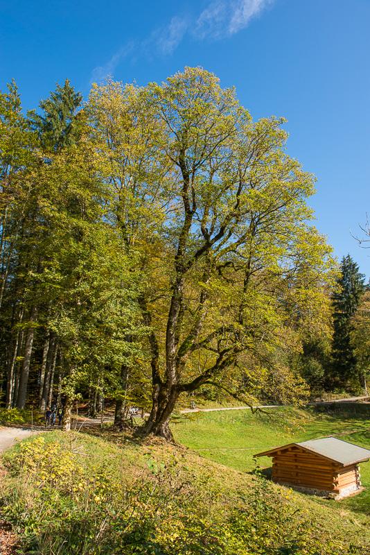 Alter Bergahorn-Baum