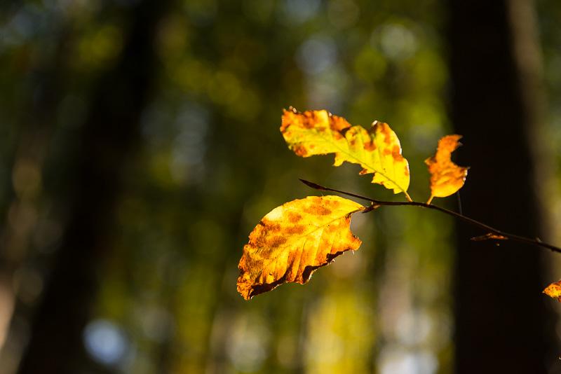 Herbstblätter einer Rot-Buche