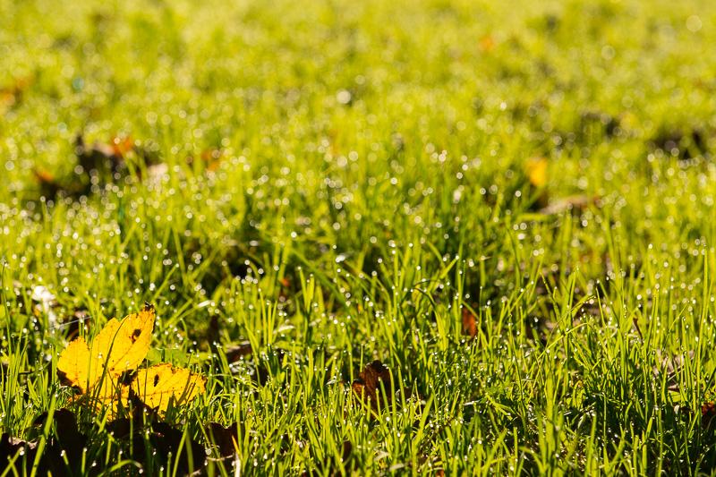 Ahornblatt auf einer Wiese