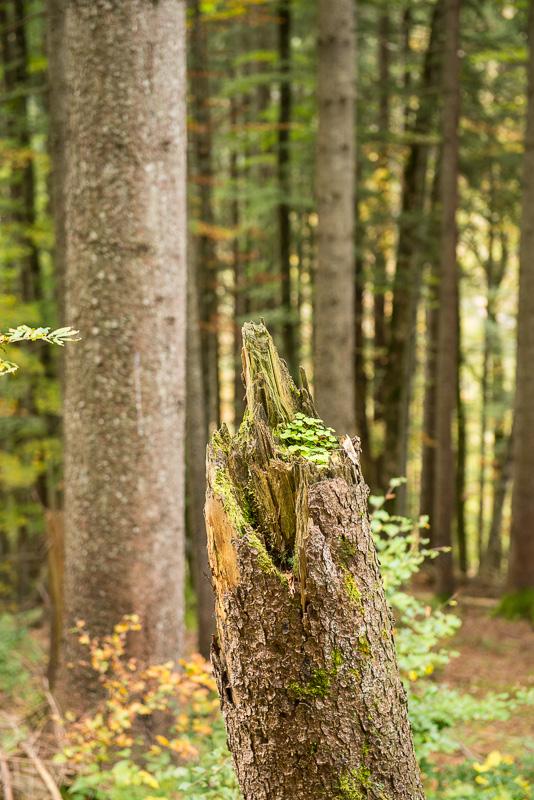 Totholz im Nadelwald