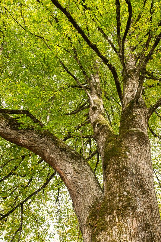 Blick nach oben Linden-Baum