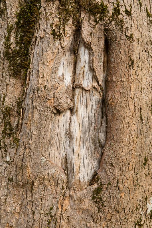Totholz an einem Bergahorn