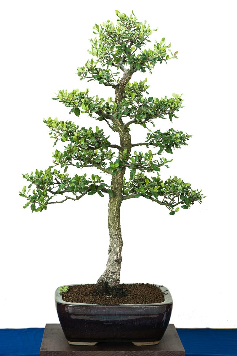 Kork-Eiche (Quercus suber) als Bonsai