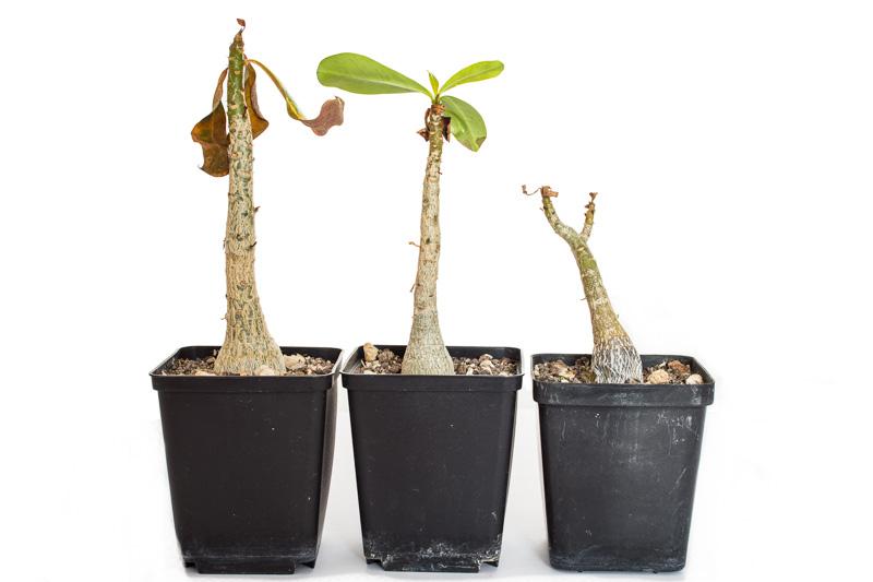 Drei junge Adenium Anfang November