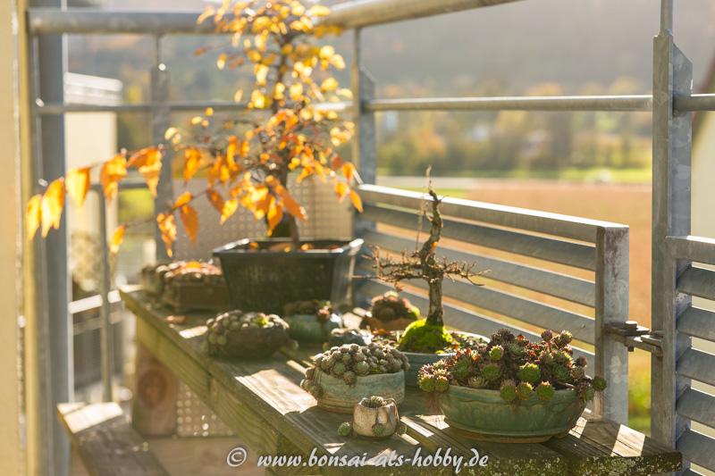 Bonsai im November auf dem Balkon