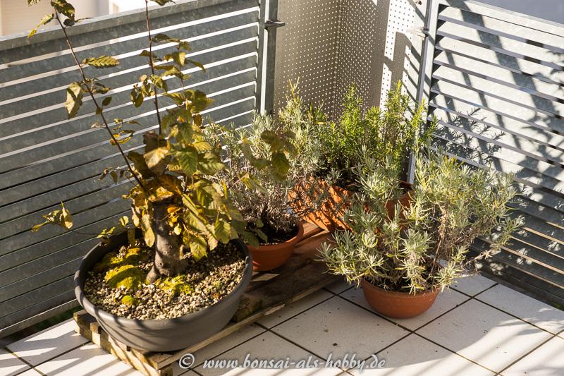 Kräuterecke mit Lavendel und Hainbuchen-Rohling