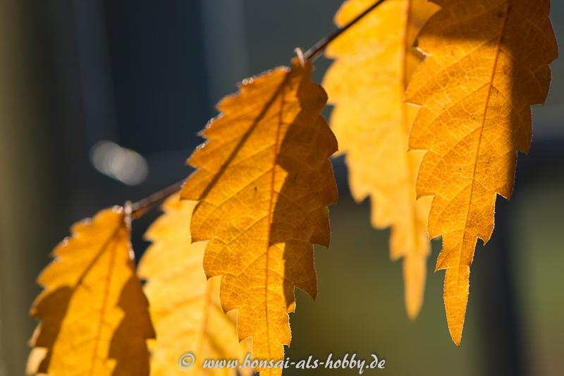 Herbstlaub Zelkove