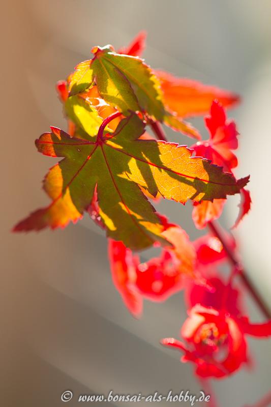 Herbstfärbung Fächerahorn