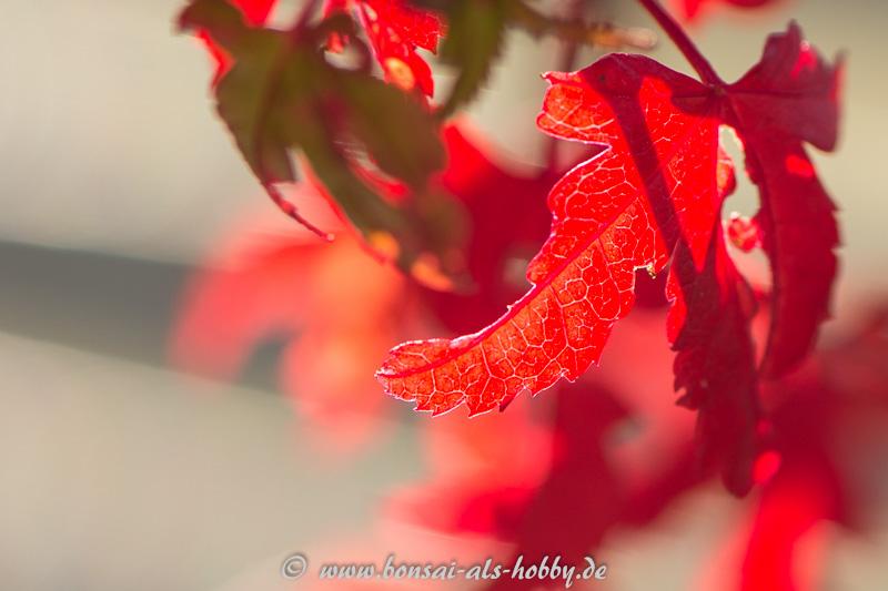Rote Herbstfärbung Fächerahorn im Gegenlicht