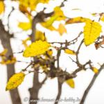 Nahaufnahme Carpinus orientalis im Herbst