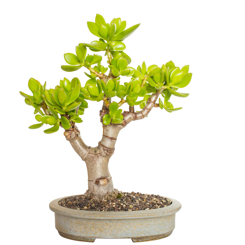 Crassula ovata Bonsai im November 2014