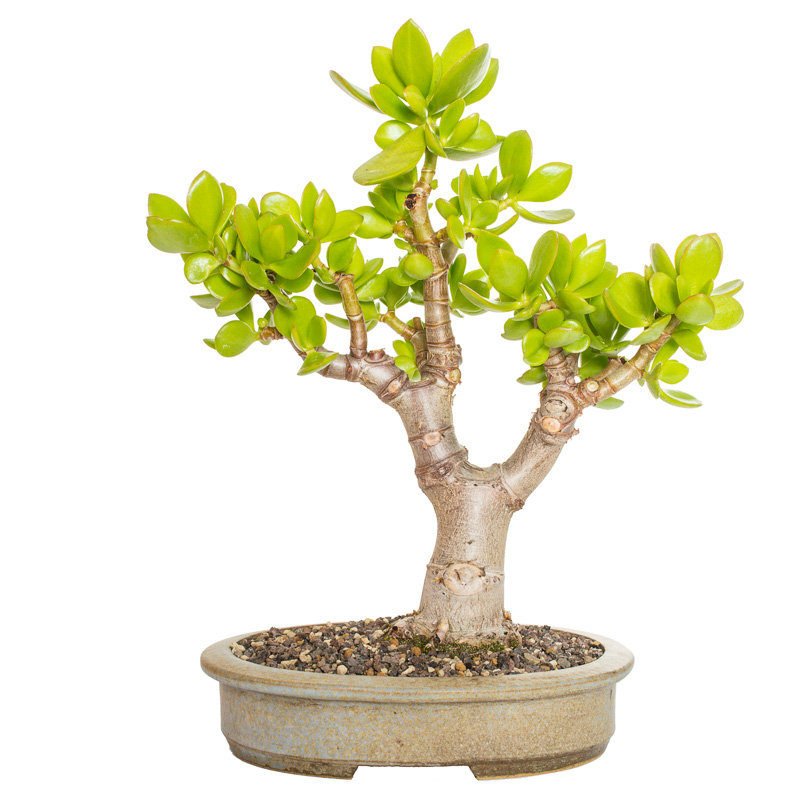 Crassula ovata Bonsai 2014