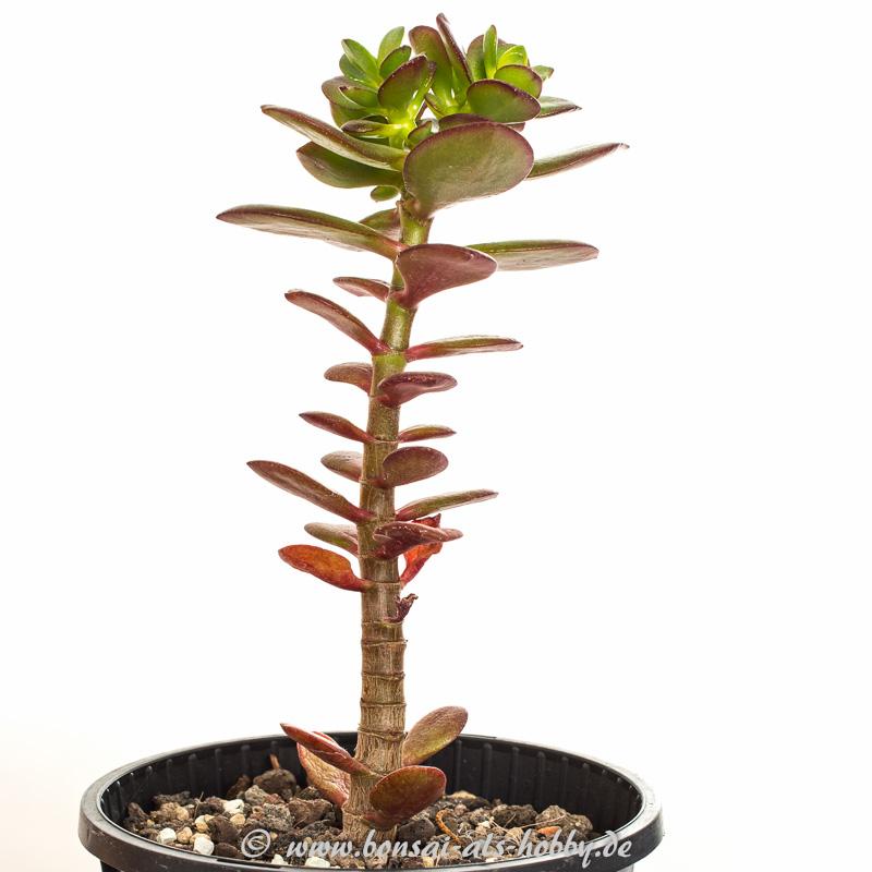 1. Steckling Crassula ovata var. minor